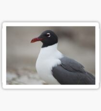 Laughing Gull close Up  Sticker