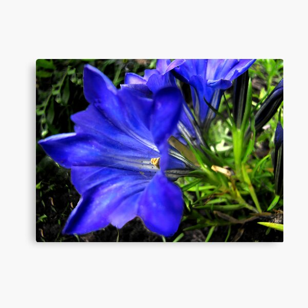 Blue as Blue Can Be Canvas Print