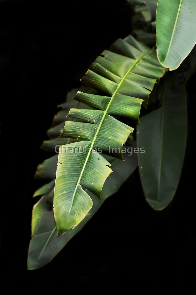 Banana Leaf by Charuhas  Images
