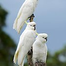 Cockatoos At Feed Time In Our Backyard. Brisbane, Australia. by Ralph de Zilva