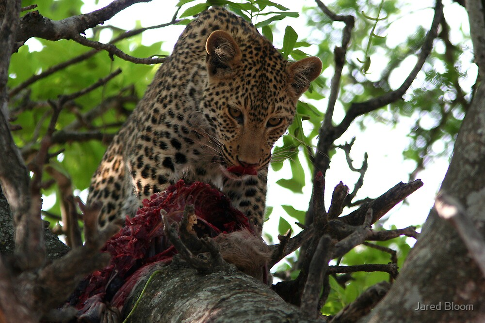 Leopard Licking Lips by Jared Bloom