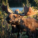 Bull Moose by Eivor Kuchta