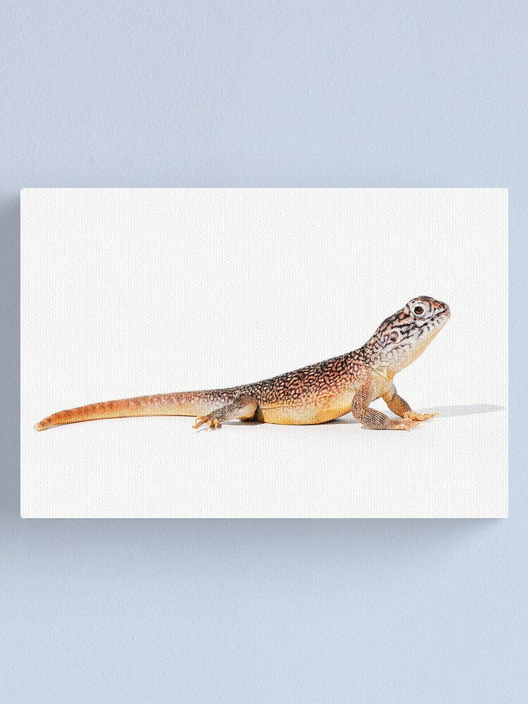Alternate view of Central Netted Dragon (Ctenophorus nuchalis) Canvas Print