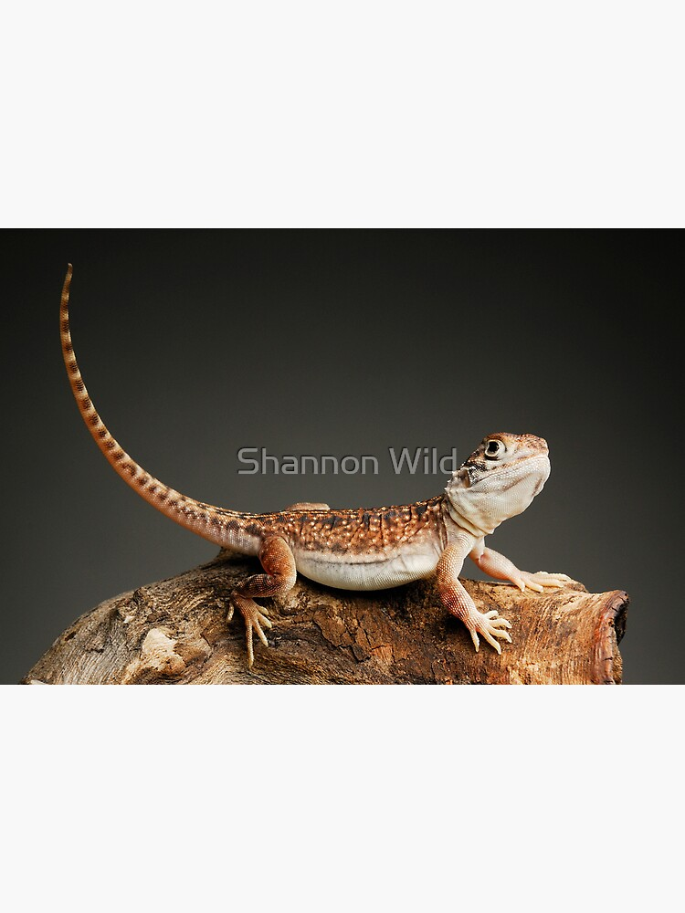 Central Netted Dragon (Ctenophorus nuchalis) by ShannonPlummer