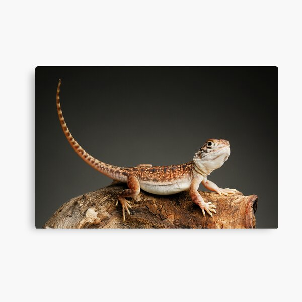 Central Netted Dragon (Ctenophorus nuchalis) Canvas Print