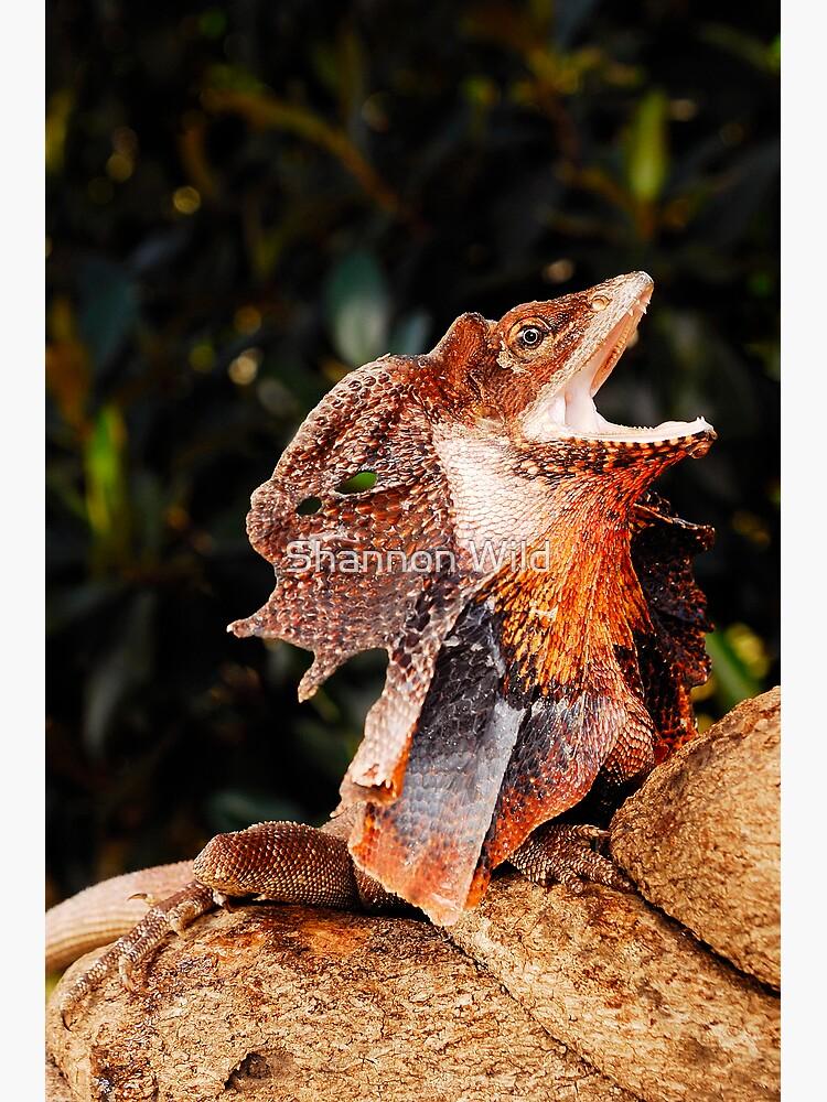 Frilled Lizard (Chlamydosaurus kingii) by ShannonPlummer