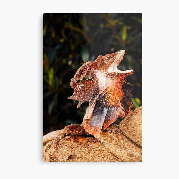 Frilled Lizard (Chlamydosaurus kingii) Metal Print