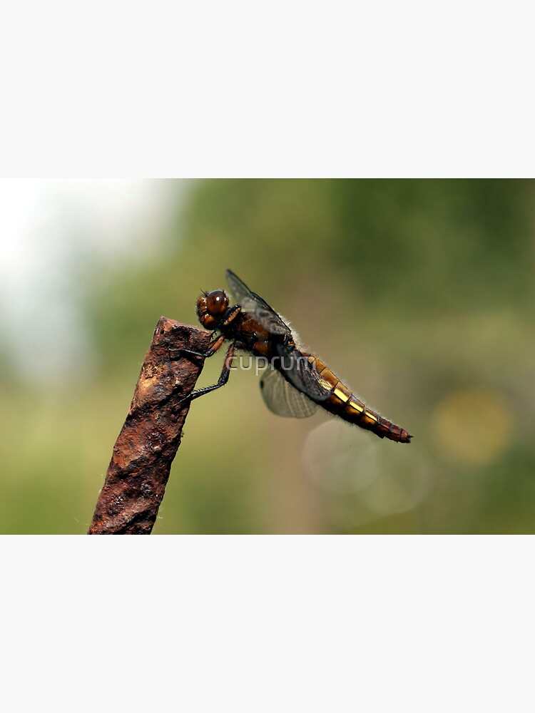 Broad-bodied Chaser en profile by cuprum