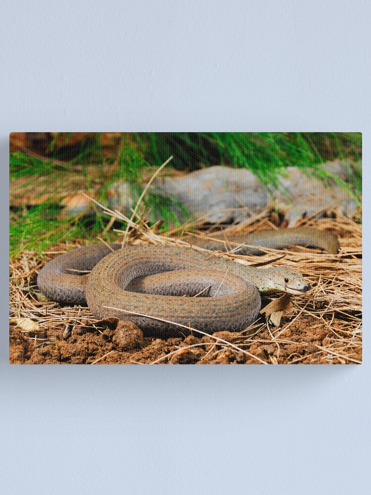 Alternate view of Common Scaly-Foot (Pygopus lepidopodus) Canvas Print