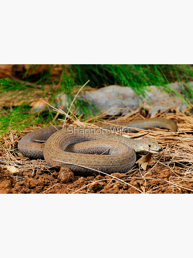Common Scaly-Foot (Pygopus lepidopodus) by ShannonPlummer