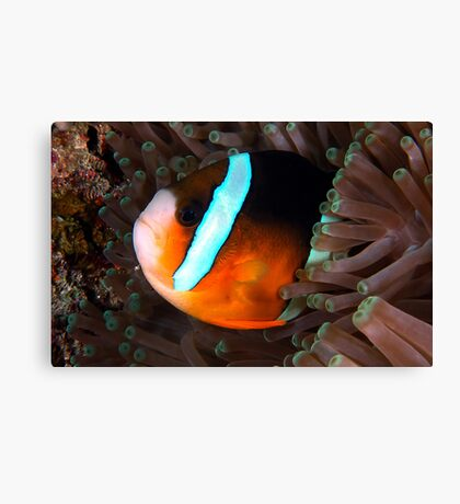 Clarkes Anemonefish Canvas Print