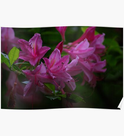 Rhododendron #3 Poster