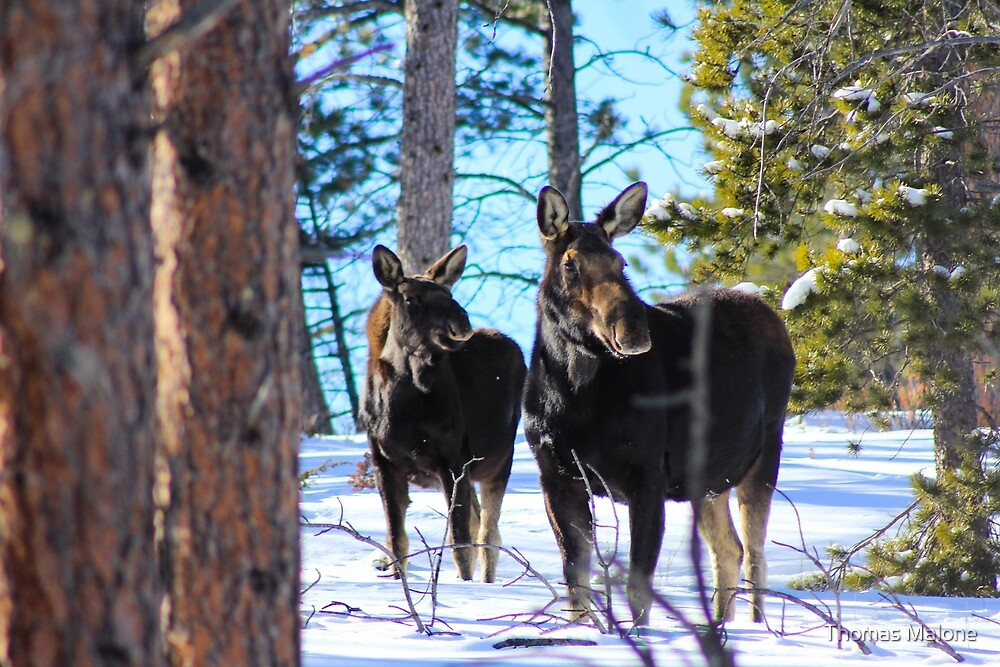 Moose int he Rocky Mountains by Thomas Malone