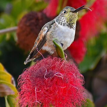 Blepping Hummingbird on Flower by Wavicles