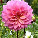Pink Dahlia by Lynne Kells (earthangel)
