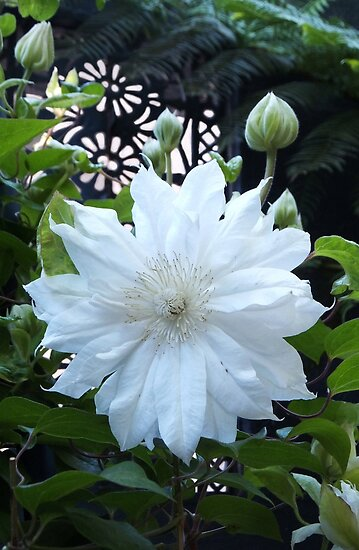Double Clematis Beauty by Lynne Kells (earthangel)
