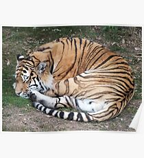 Time For A Cat Nap - Tiger Poster