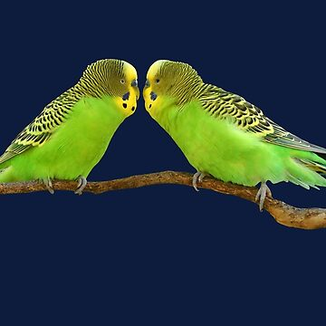 Budgerigar pair kiss 2 by quentinjlang