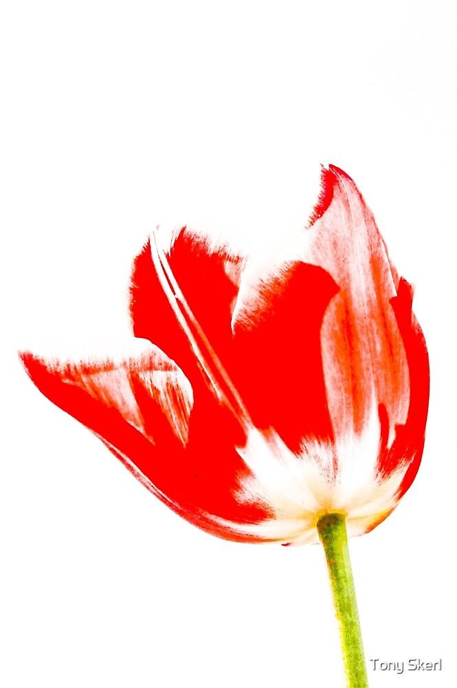 Tulip by Tony Skerl