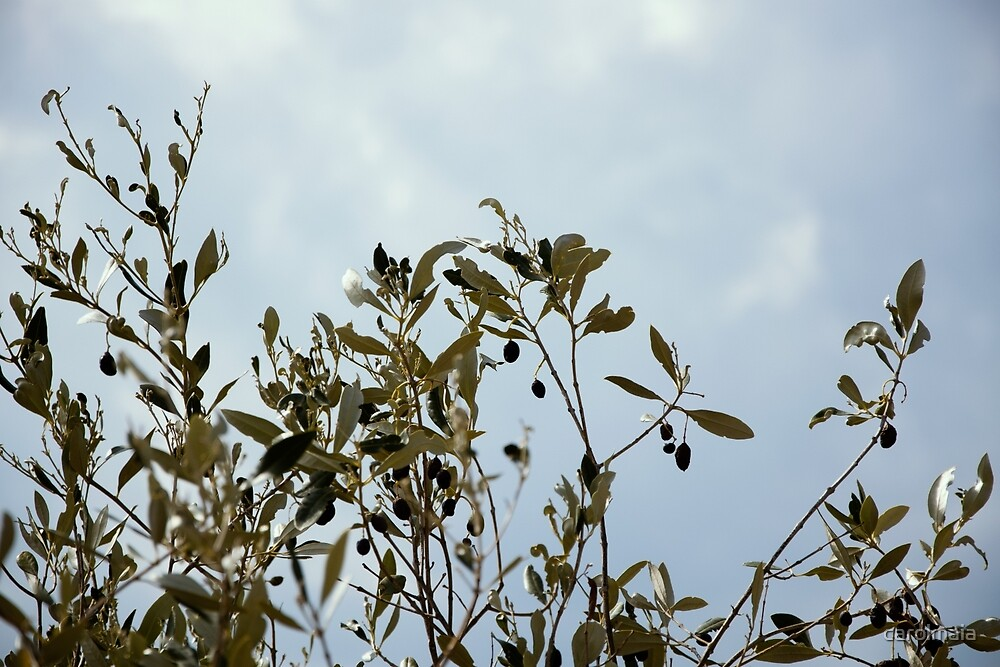 Olive tree by carolmaia