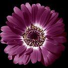 Purple Gerbera Beauty by hurmerinta