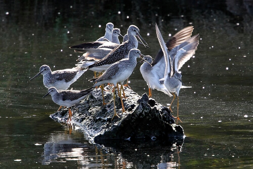 """Sorry, No Room!"" Greater and Lesser Yellowlegs by Wolf Read"