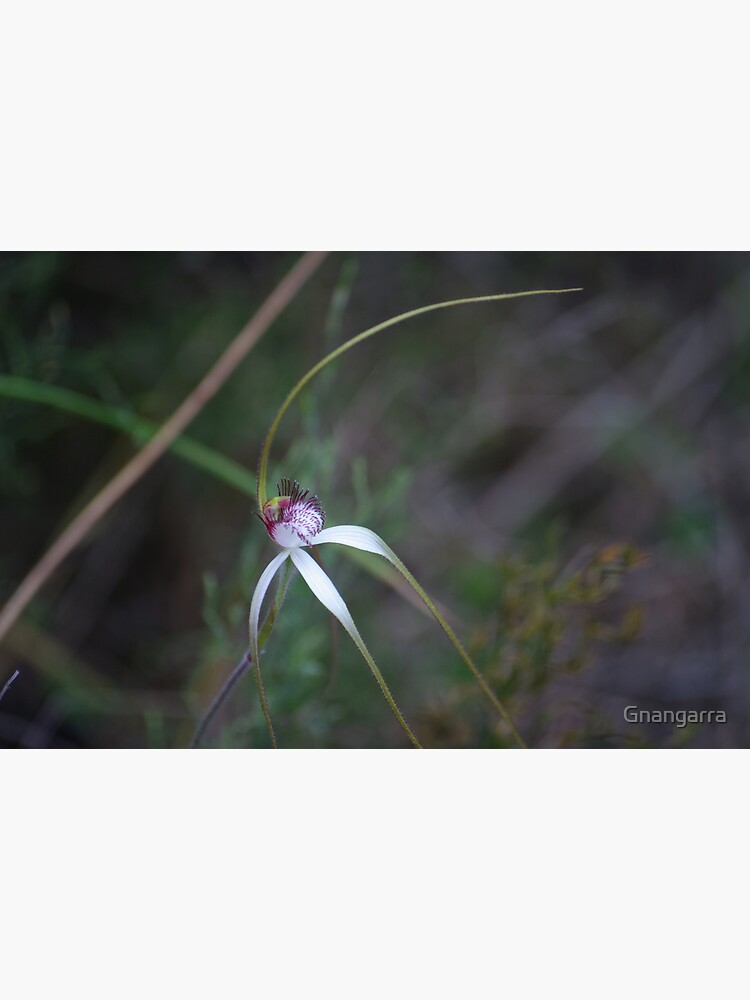 Spider Orchid 2 by Gnangarra