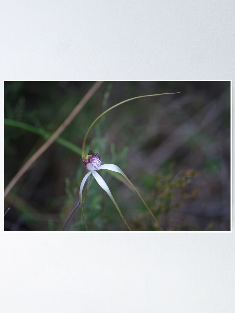 Alternate view of Spider Orchid 2 Poster