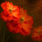 Spanish Poppy. Orange Flowers. Textured and Toned. by Barbara  Jones ~ PhotosEcosse
