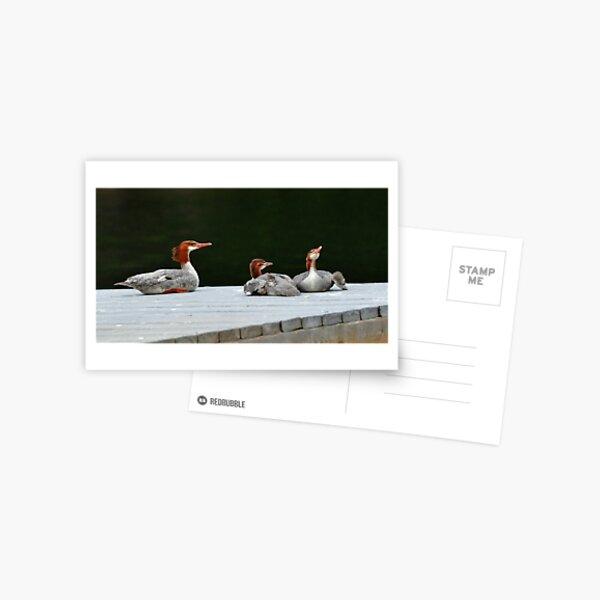 Merganser Family Postcard