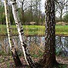 Birches look through by steppeland