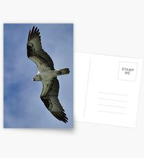 Osprey in Flight Postcards