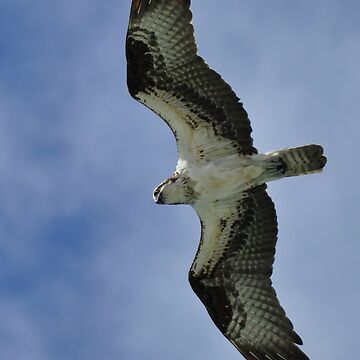 Osprey in Flight by fotokmcc