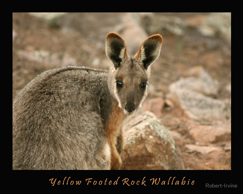 Yellow Footed Rock Wallabie by Robert-Irvine