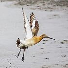 Godwit Rising by MikeSquires
