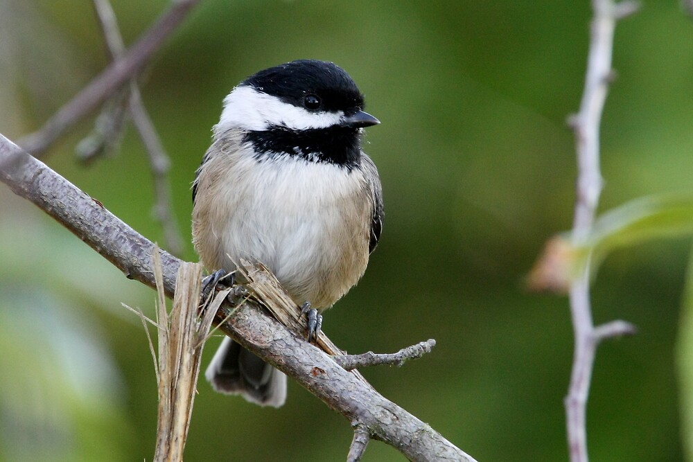 Chipper Black-Capped Chickadee by Wolf Read