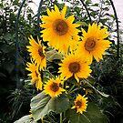 Sunflowers, St Kilda by Roz McQuillan