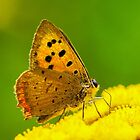 Small Copper on Tansy by MikeSquires