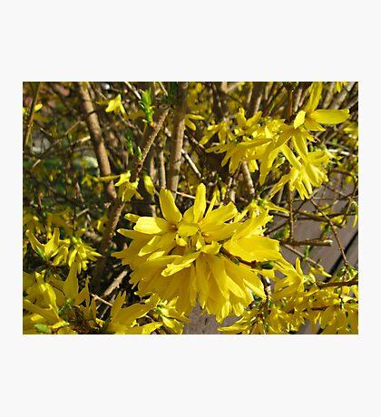Goldene Forsythie-Blume Fotodruck