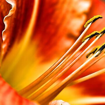 Beautiful Orange Daylily by rural-guy