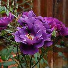 Floribuna Roses by Kathryn Jones