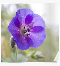 Violet passion Poster
