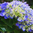 blue hydrangea by ANNABEL   S. ALENTON