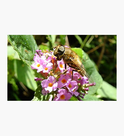 hoverfly on blossom Photographic Print