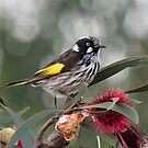 New Holland Honey Eater by Margaret Metcalfe