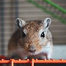 Choc the Gerbil by Monica Carvalho