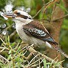 Kookaburra by quentinjlang