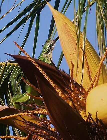iguana by abryant