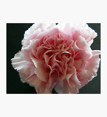 Just a Carnation Photographic Print