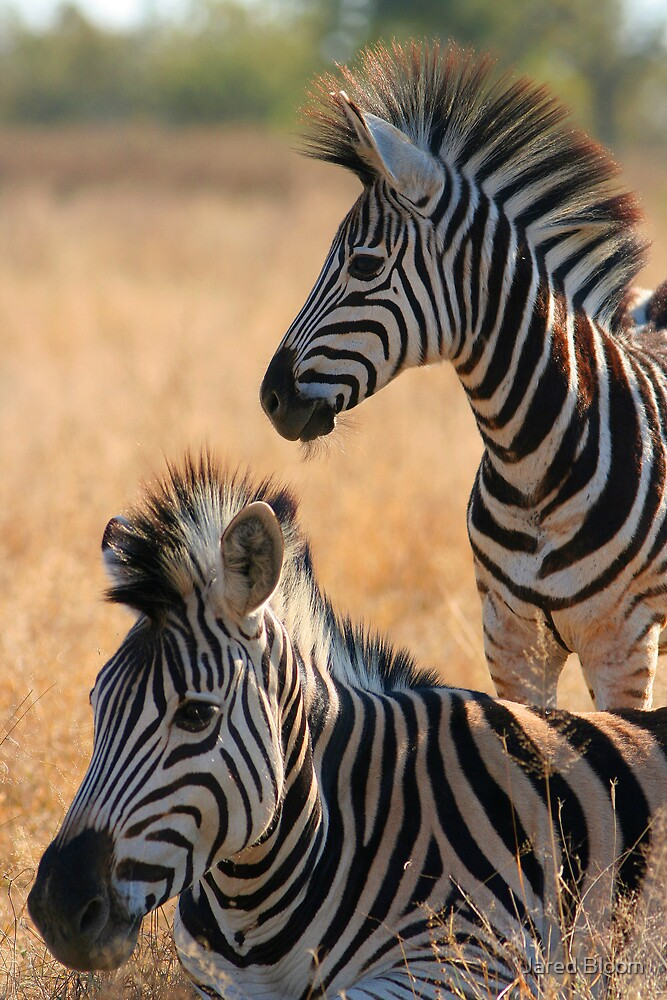 Mother & Young Zebra by Jared Bloom